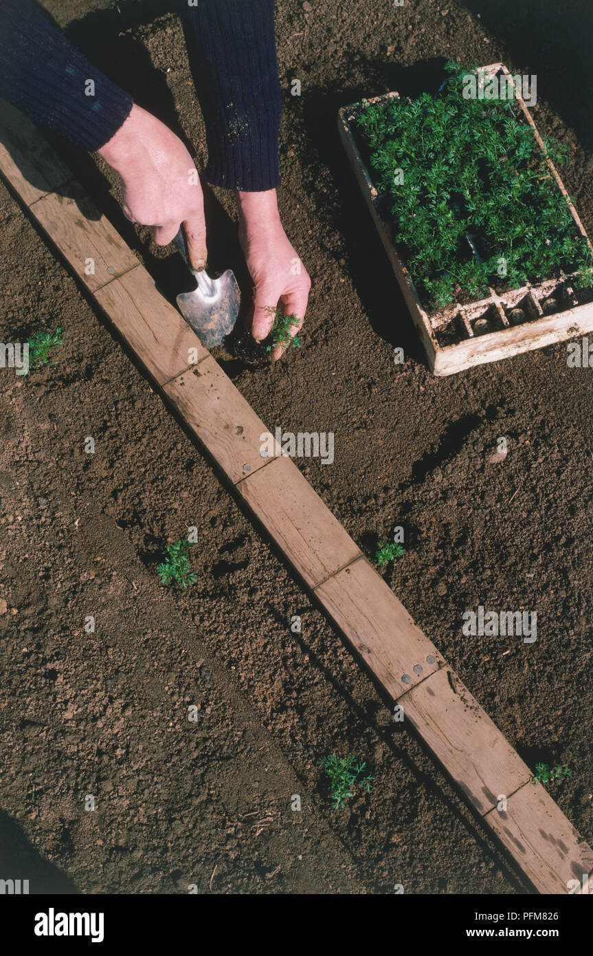 Man's hands planting seedlings in staggered rows, multiple sowing. - Stock Image