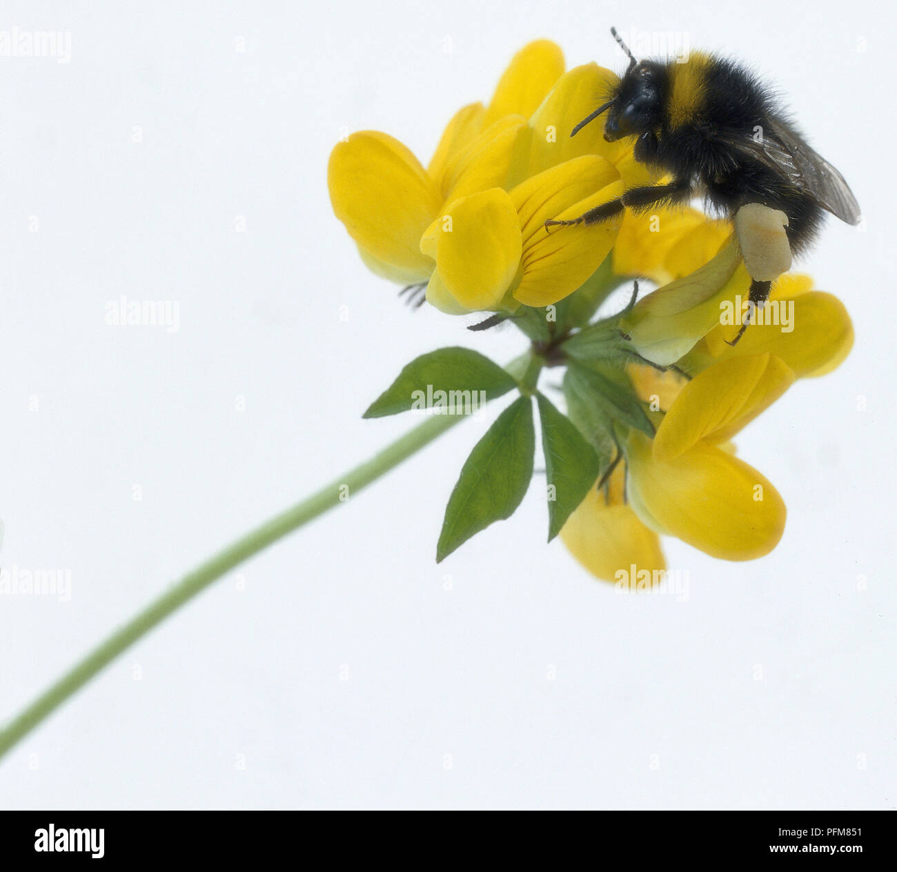 Bumble Bee crawling over yellow flower - Stock Image