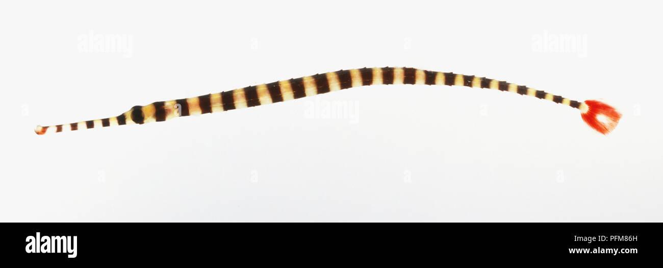 Zebra Pipefish - Stock Image