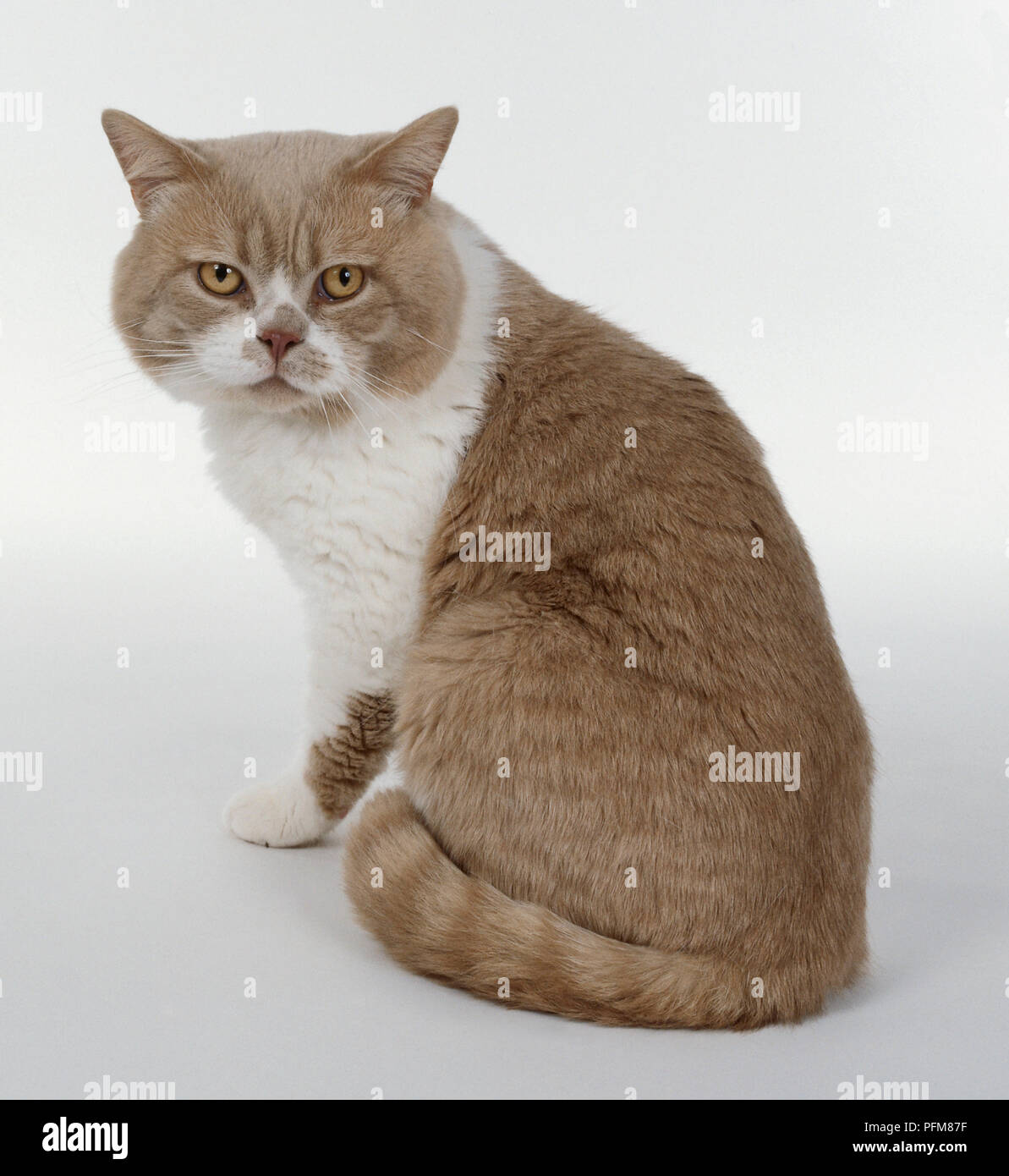 Cream and White British shorthaired cat with white blaze on face and cobby body shape, sitting. - Stock Image