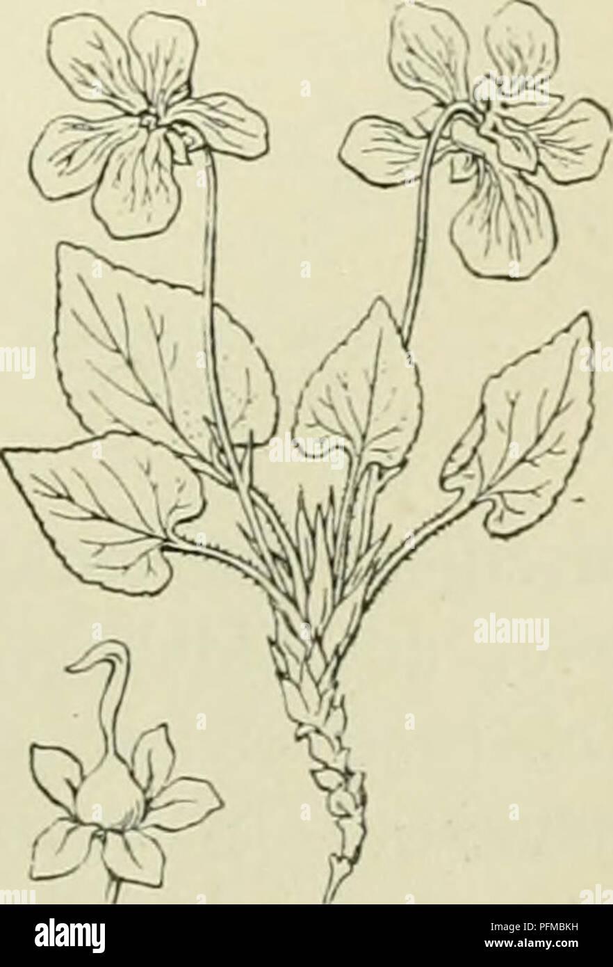 . De flora van Nederland. Plants. B. De bovenste 4 kroonbladen opjjericht (de middelste 2 naar de bovenste 2 gericht en deze met hunne randen bedekkend). De onderste 3 kroonbladen aan den voet gebaard. Stijl opstijgend. Stempel bijna bolrond, hol, met een zijwaartsche opening, die een klopje aan den onderrand draagt. Steunbladen handdeelig of vinspletig. a. Steunbladen handdeelig. Spoor even lang als of nauwelijks langer dan de kelk- aanhangsels. Bloemen geel, zelden de bovenste kroonbladen of alle blauwviolet. V. lutca biz. 326. b. Steunbladen liervormig-vinspletig. Spoor dubbel zoo lang als  - Stock Image