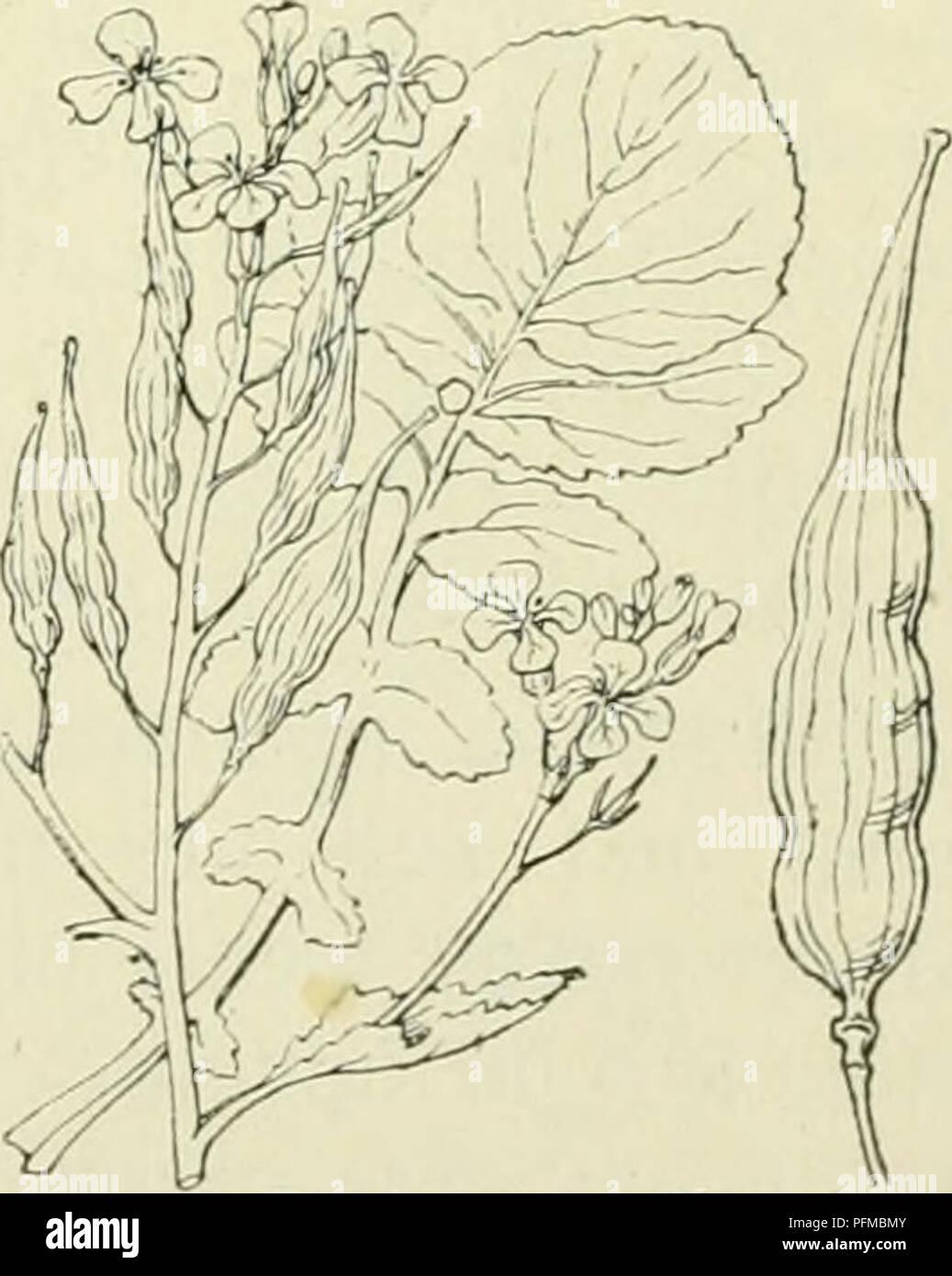 . De flora van Nederland. Plants. FAMILIE 39. — CRUCIFERAE. — 315 Biologische bijzonderheden. Aangezien de kelkbladen rechtopstaan, is de honig niet, zooals bij Sinapis, van buiten af bereikbaar. Alle helmknopjes keeren hun opengesprongen zijde naar den stempel, die der kortere meel- draden staan er mee op dezelfde hoogte, die der langere erboven, zoodat spontane zelfbestuiving meer begunstigd is dan bij Sinapis. Deze schijnt echter geen uitwerking te hebben. Volksnamen. Ook deze plant wordt in vele streken genoemd als Sinapis arvensis, dus gele kiek, herik, kiek, krodde, walderik. Voorkomen i - Stock Image