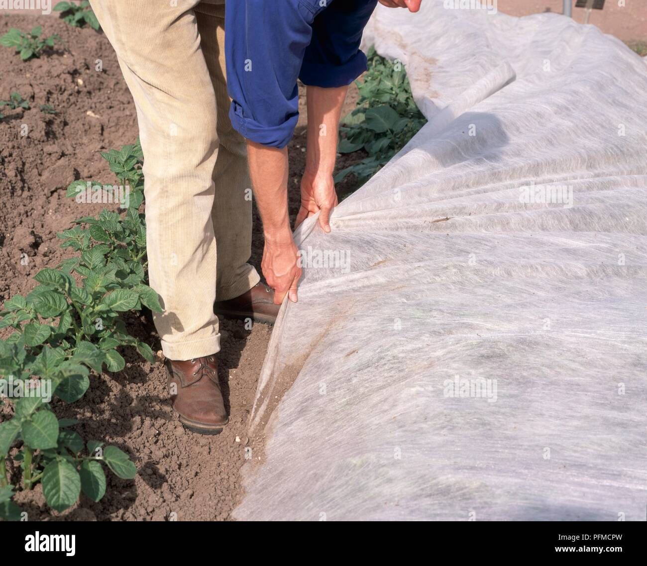 Man covering potato plants with horticultural fleece, close-up - Stock Image