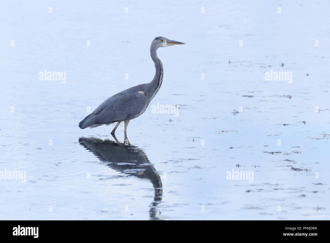 A Grey Heron fishing in a lake at RSPB St Aidan's Stock Photo