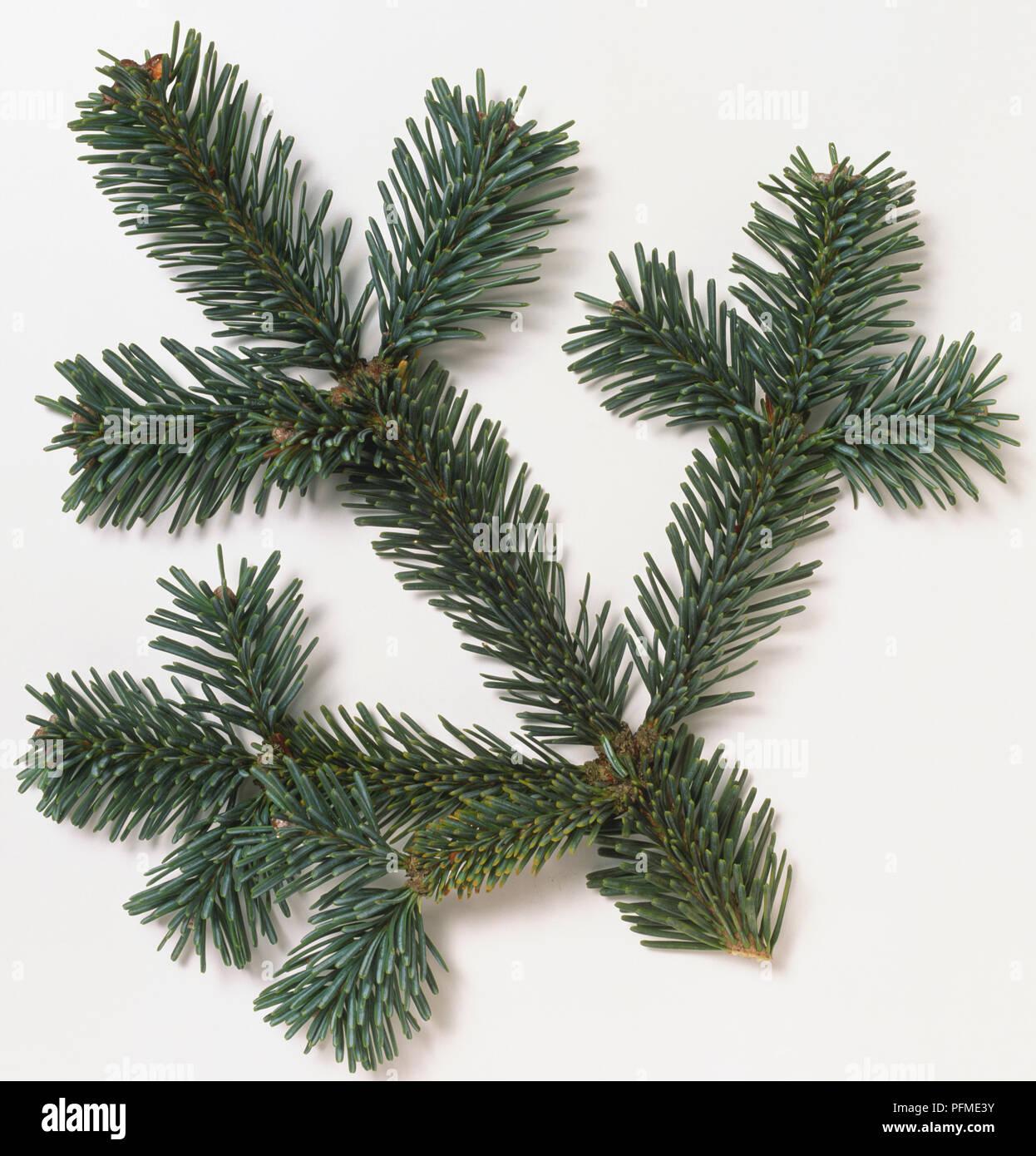 Pinaceae Abies Lasiocarpa Var Arizonica Compacta Subalpine Fir