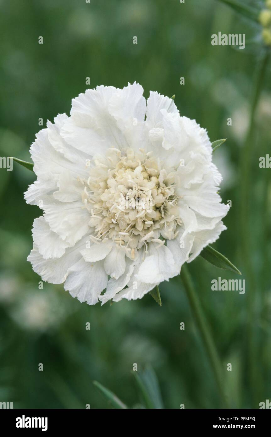 White Flower From Scabiosa Caucasica Miss Willmott Scabious Or