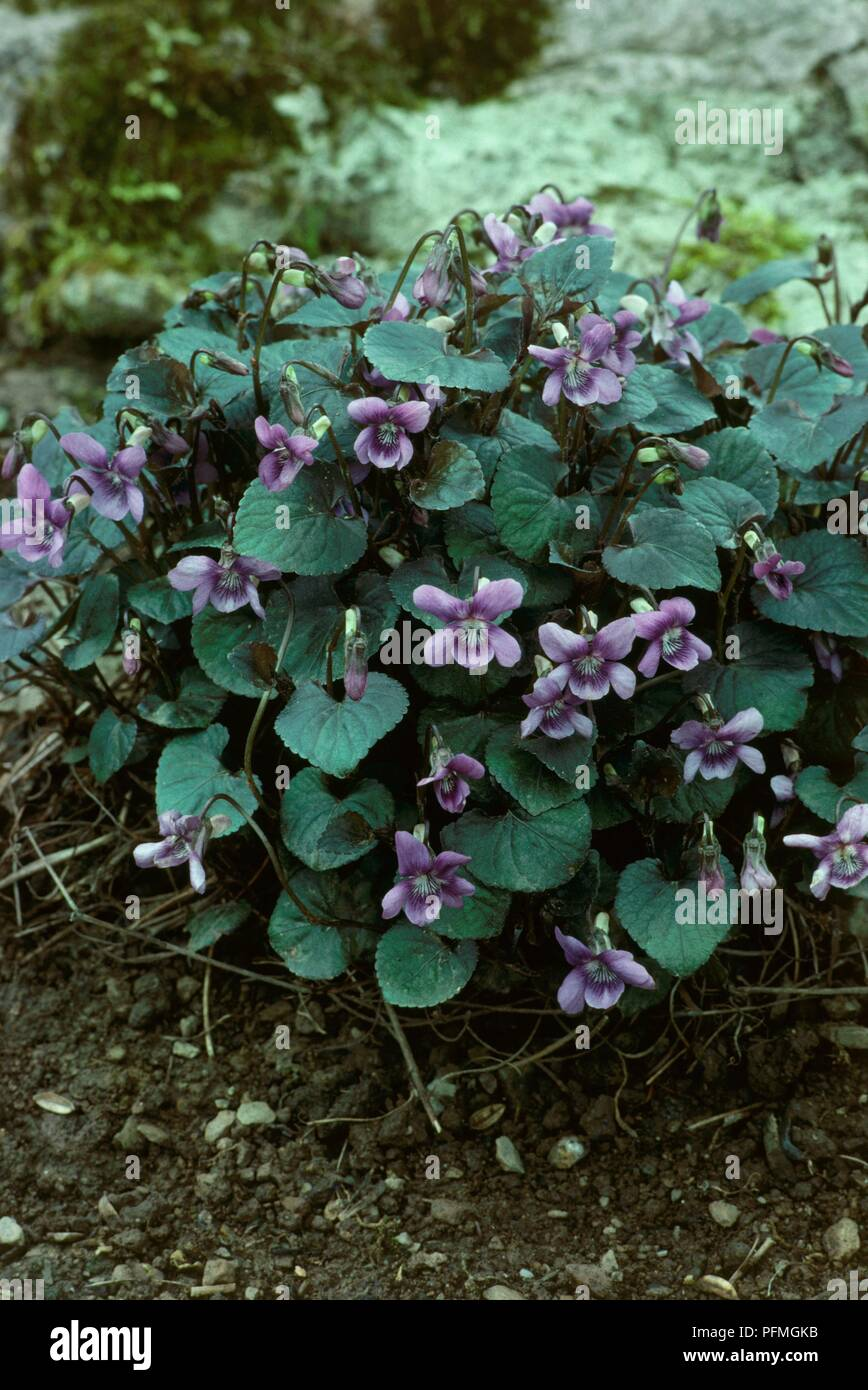 Leaves and purple flowers from Viola riviniana 'Purpurea' (Common dog violet or Wood violet) - Stock Image