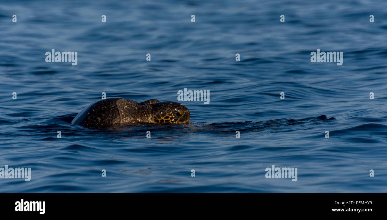 Galapagos Green Sea Turtles (Chelonia agassizii) mating in the ocean off the coast of the Galapagos Islands, Ecuador. Stock Photo