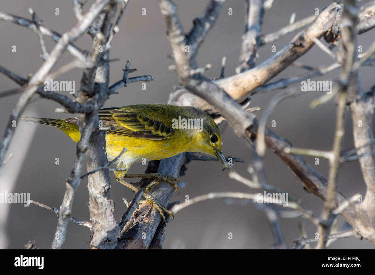 Galapagos Yellow Warbler (Dendroica petechia) searching for food in the Galapagos Islands, Ecuador. - Stock Image