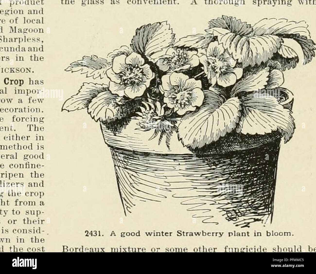 . Cyclopedia of American horticulture, comprising suggestions for cultivation of horticultural plants, descriptions of the species of fruits, vegetables, flowers, and ornamental plants sold in the United States and Canada, together with geographical and biographical sketches. Gardening. ^^iiis'^;i;;:x',l: and one of gooi soil should have dissolved rock 8 to two bushels should be givei ripening the croi period a large qua sharp sand. This potting nixed with it bone-fiour or the rate of about one pint of soil. Ample drainage as through the season of is and the following forcing itity of water mu Stock Photo