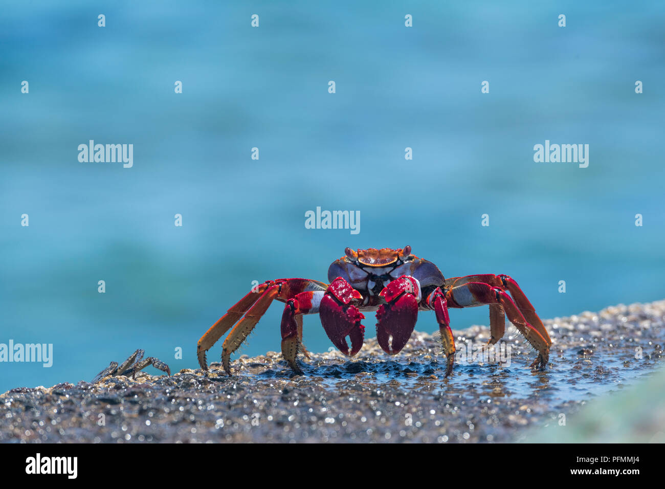 Red rock crab (Grapsus adscensionis) on wet rock, Tenerife, Canary Islands, Spain Stock Photo