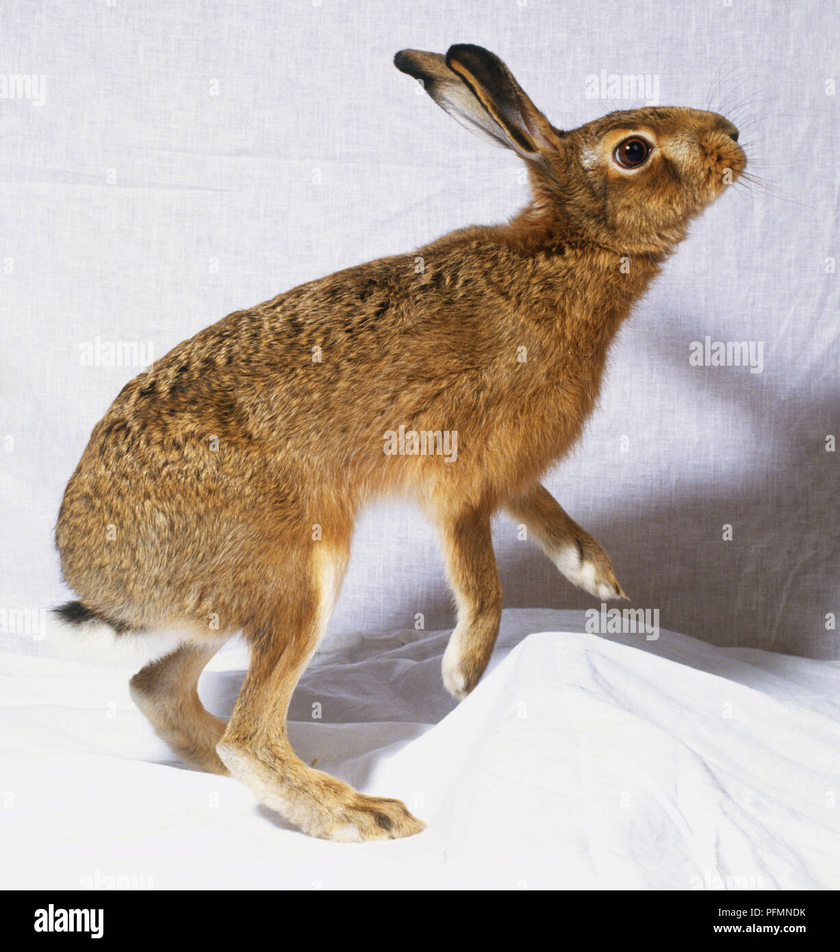 Rabbit Standing On Hind Legs Stock Photos Rabbit Standing On Hind