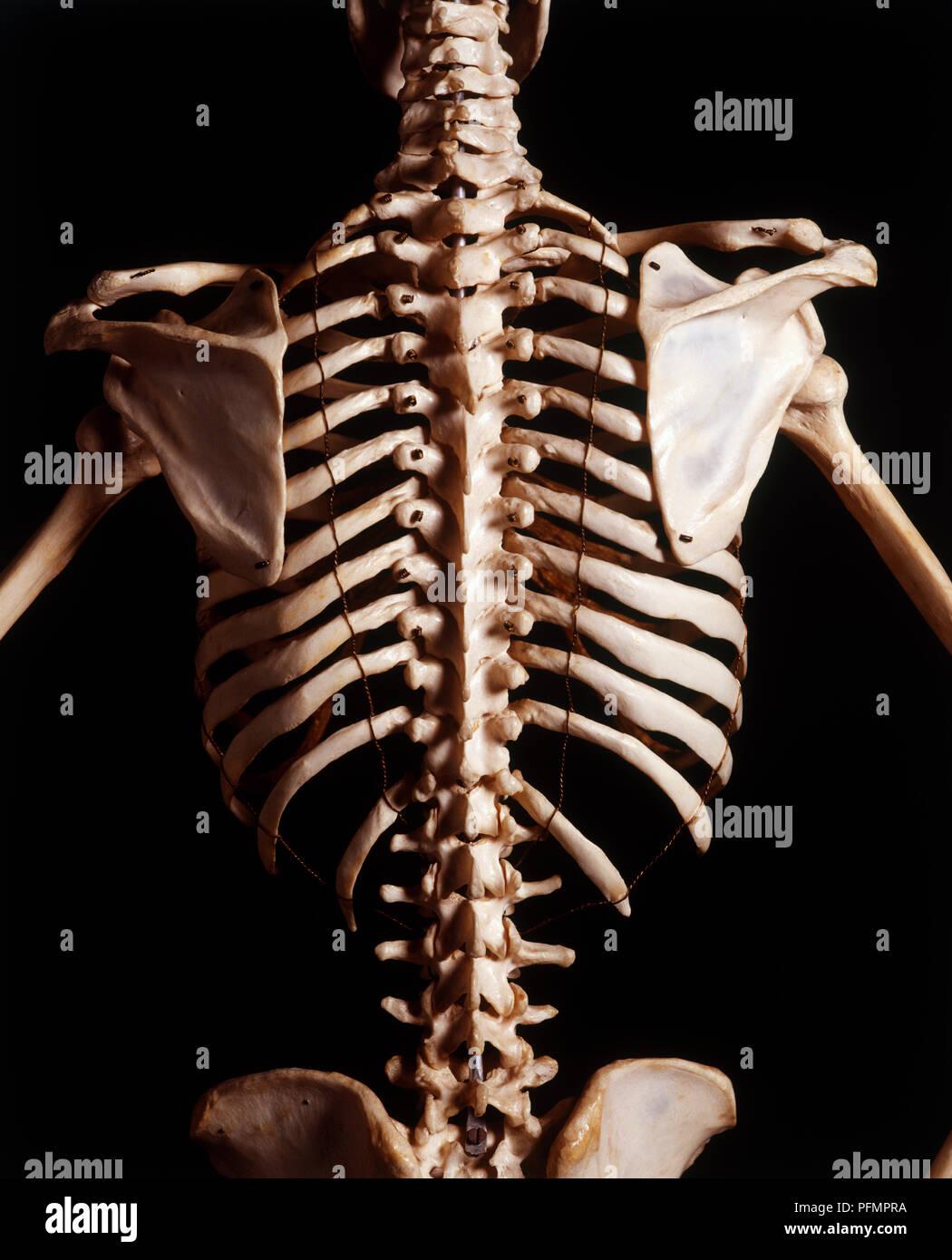 Human Skeleton Rib Cage And Shoulder Blades High Angle View Stock