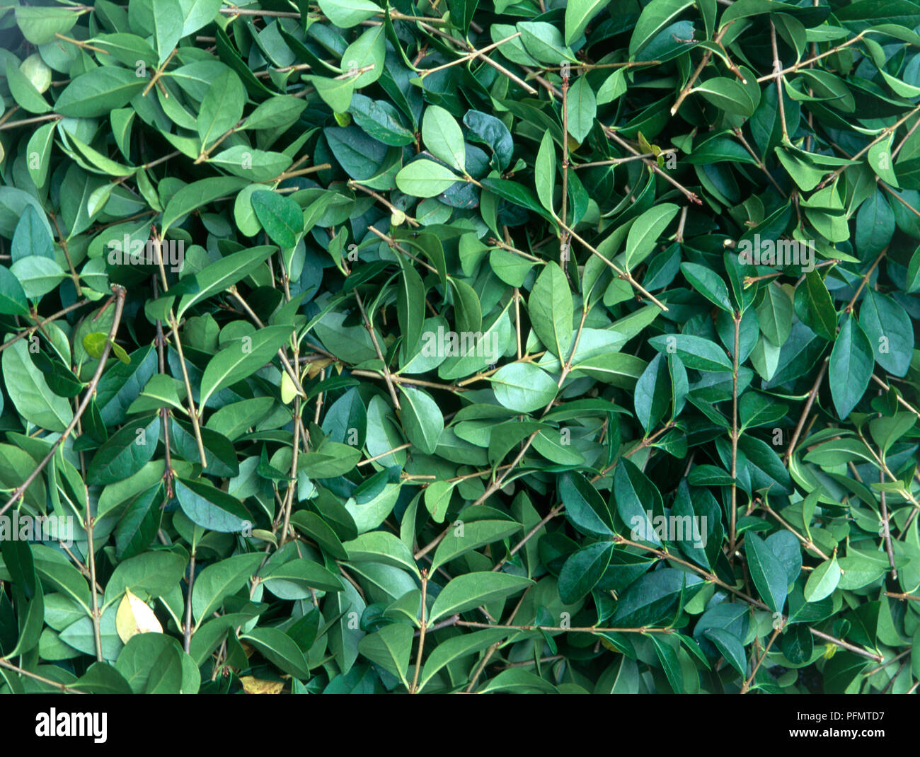 Hedge clippings, close-up - Stock Image