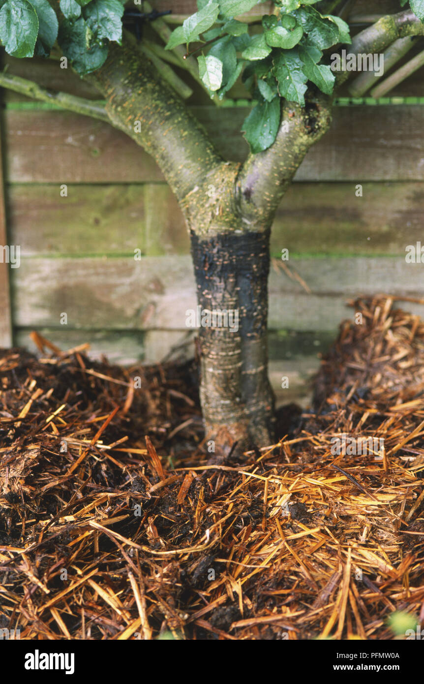 Close-up of the base of a fruit tree in thick straw mulch. - Stock Image