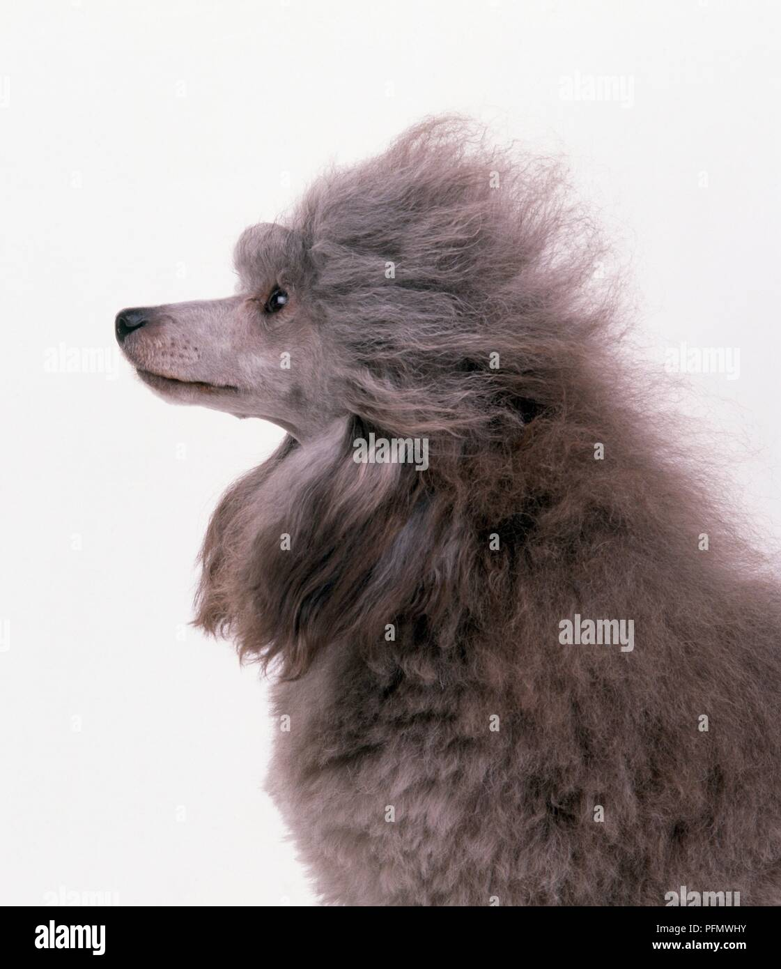 Head and shoulders of a groomed grey poodle, side view - Stock Image