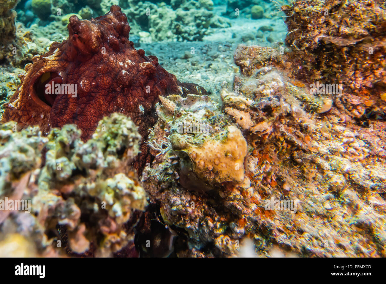 Octopus Camouflage Stock Photos & Octopus Camouflage Stock Images ...