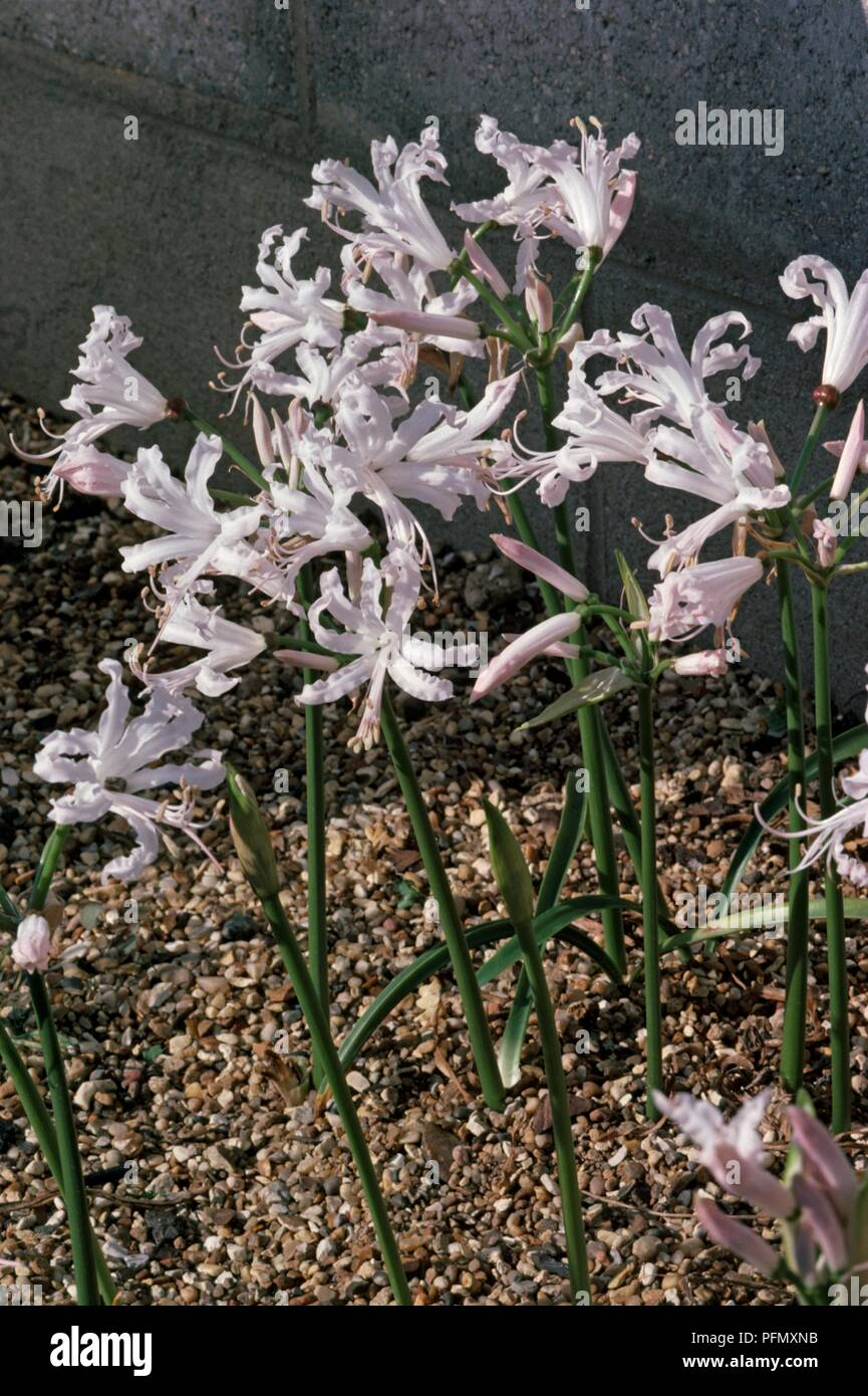 Pale pink-white flowers from Nerine bowdenii f. alba (Cape flower, Guernsey lily) - Stock Image