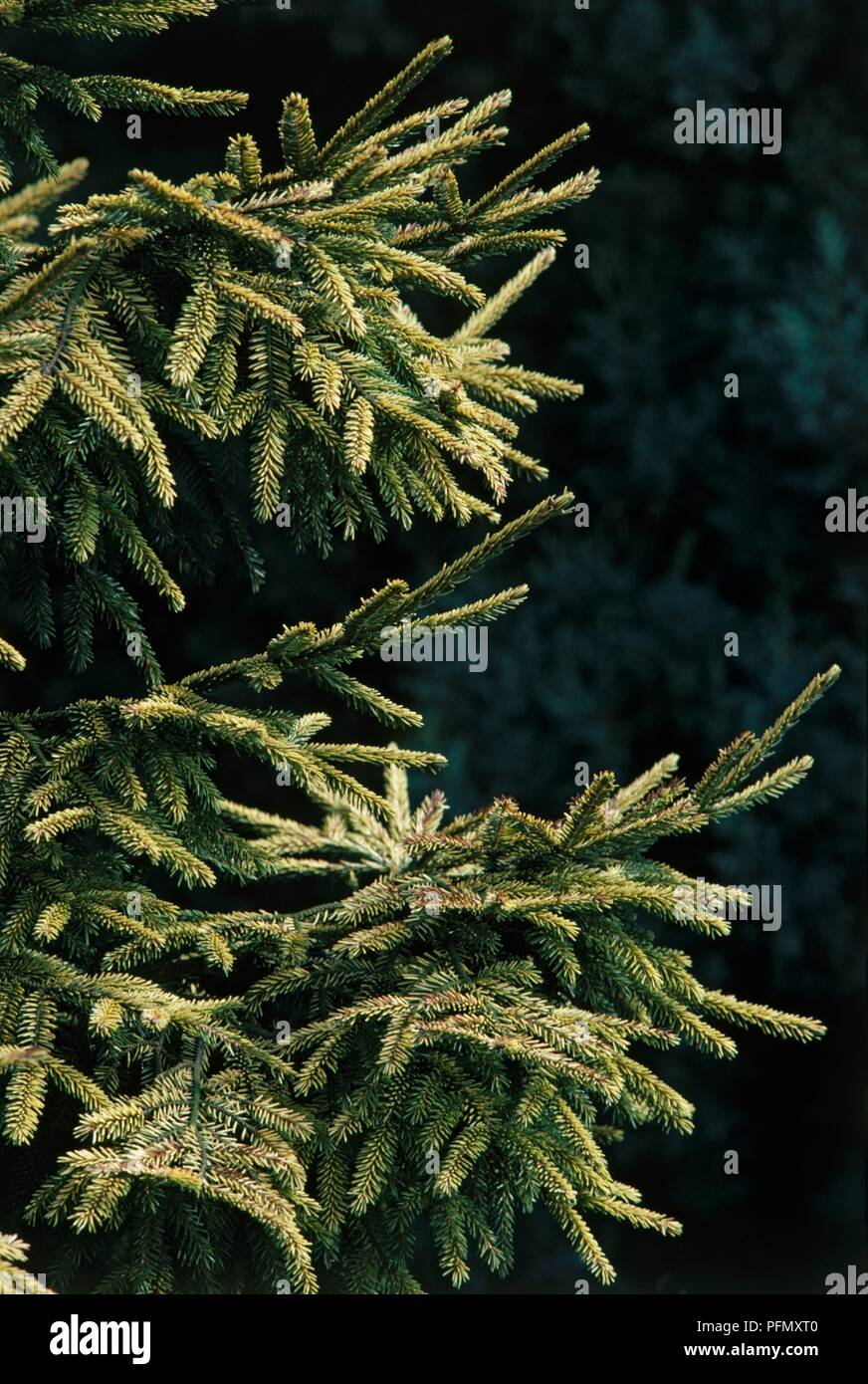 Branches of Picea orientalis 'Skylands' (Caucasian Spruce, Oriental Spruce) Stock Photo