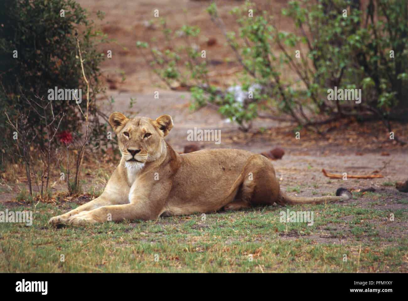 Lioness, Panthera leo, lying down on grass, front legs outstretched before her, head raised, white hairs on chin, looking forward, angled side view, scrubland in background. - Stock Image