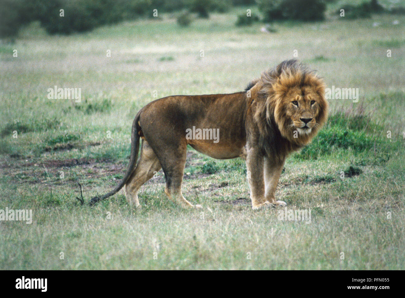 Male Lion, Panthera leo, standing, large golden mane, white chin, long tail, side view, open grassland in background. - Stock Image