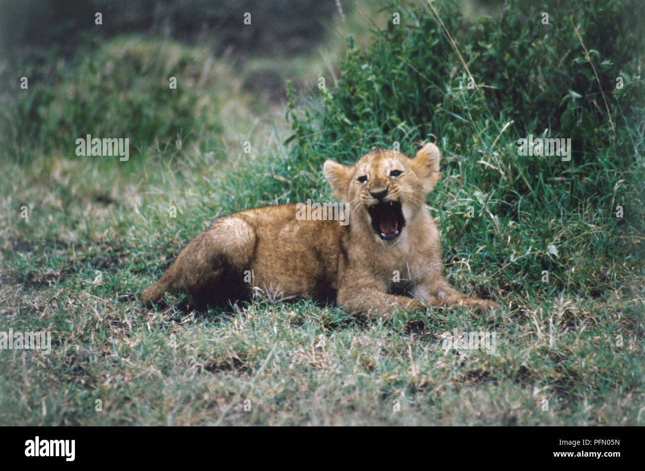 Lion cub, Panthera leo, lying down, yawning, open mouth exposing several teeth and pink tongue, thick golden and black fur, grass surrounding. - Stock Image
