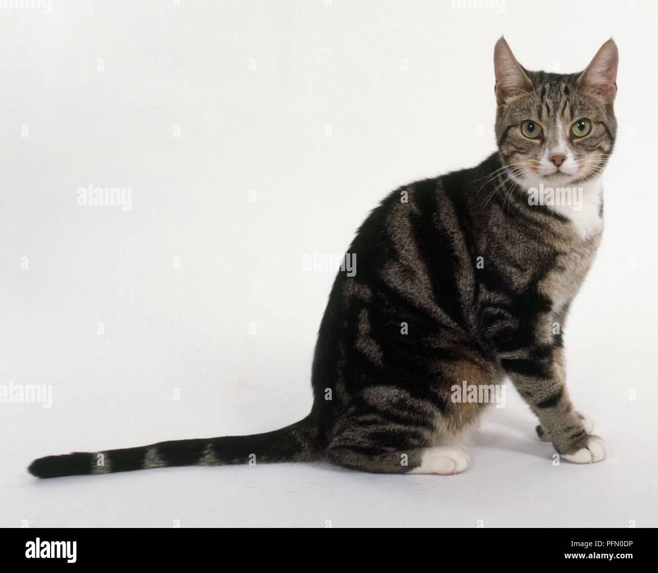 Brown and white classic tabby cat, sitting - Stock Image