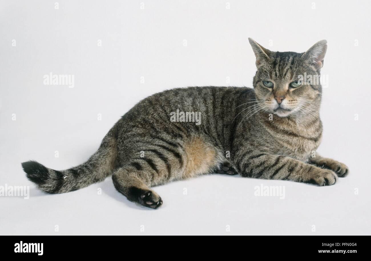 Brown Mackerel Tabby Cat Lying Down Stock Photo Alamy