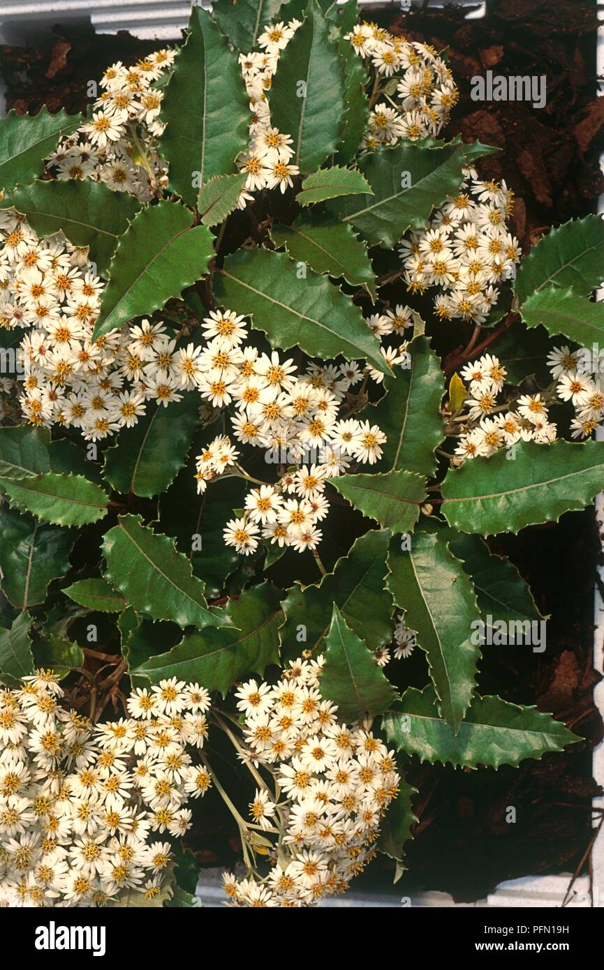 Olearia Macrodonta New Zealand Holly A Shrub With White And