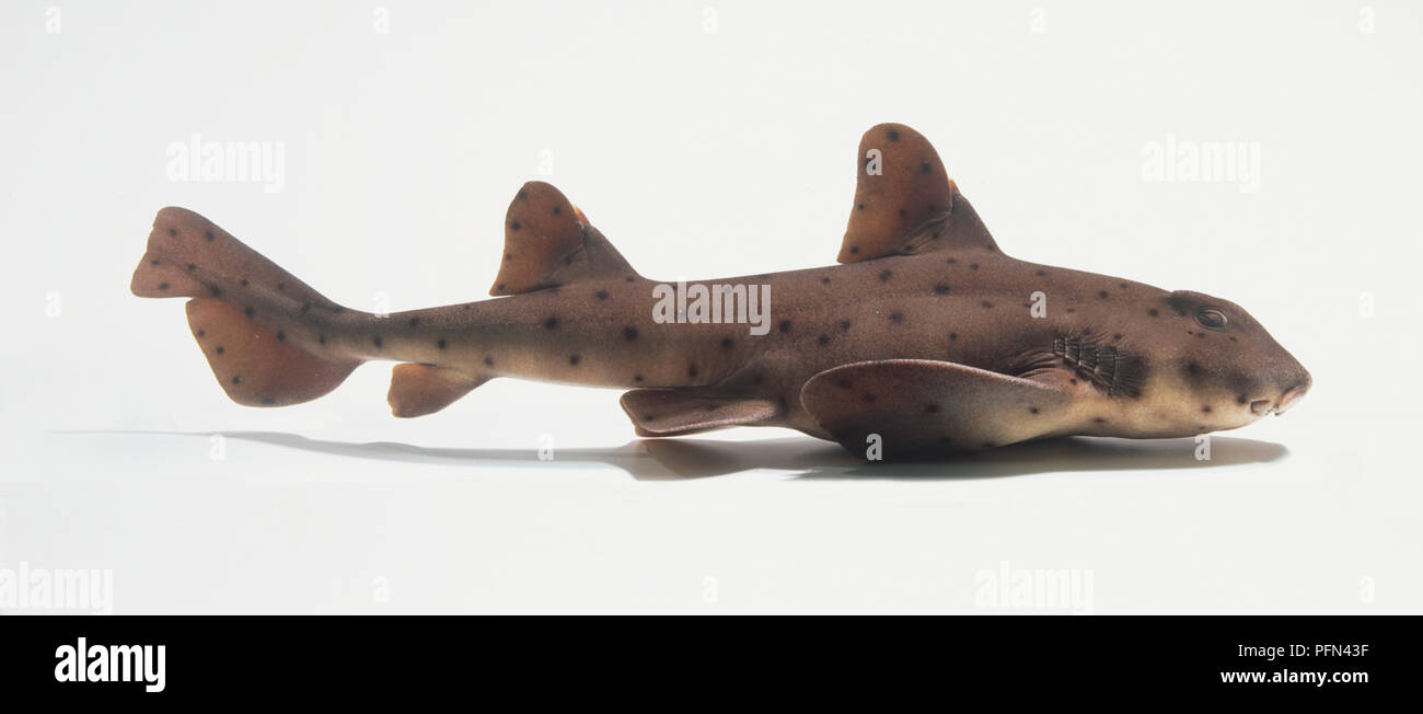 Horn Shark (Heterodontus francisci), side view - Stock Image