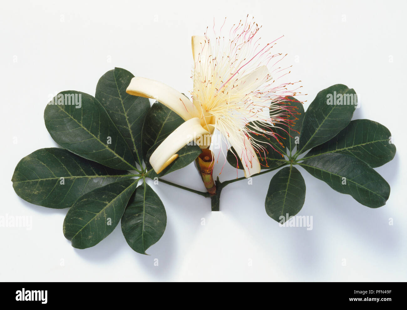 Kapok Flower Stock Photos & Kapok Flower Stock Images - Page 2 - Alamy