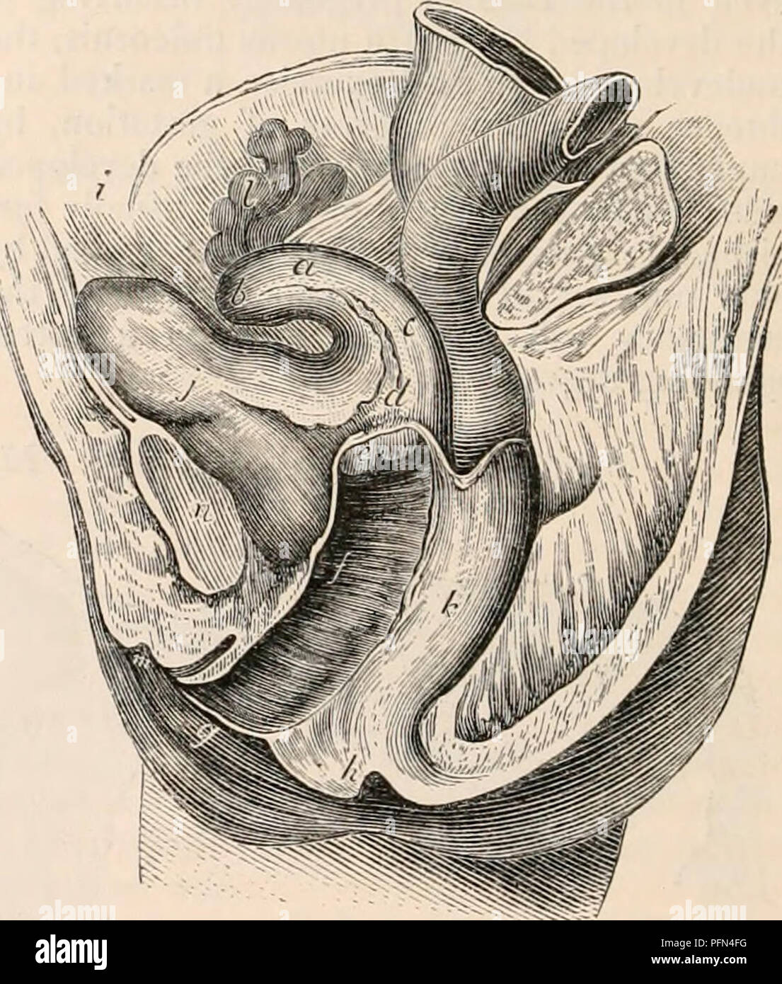 . The cyclopædia of anatomy and physiology. Anatomy; Physiology; Zoology. less horizontally, is directed towards the sym- physis pubis, while, according to the degree of inflexion, the anterior wall of the uterus is brought near to, or in contact with, the cervix in front, while the posterior wall looks up- wards, corresponding more or less with the plane of the pelvic brim. The point of cur- vature is always at the line of junction of the body with the cervix uteri, and here an angle more or less acute is formed. Fig. 466., giving a lateral view of the anti- flexed uterus, exhibits the relati - Stock Image