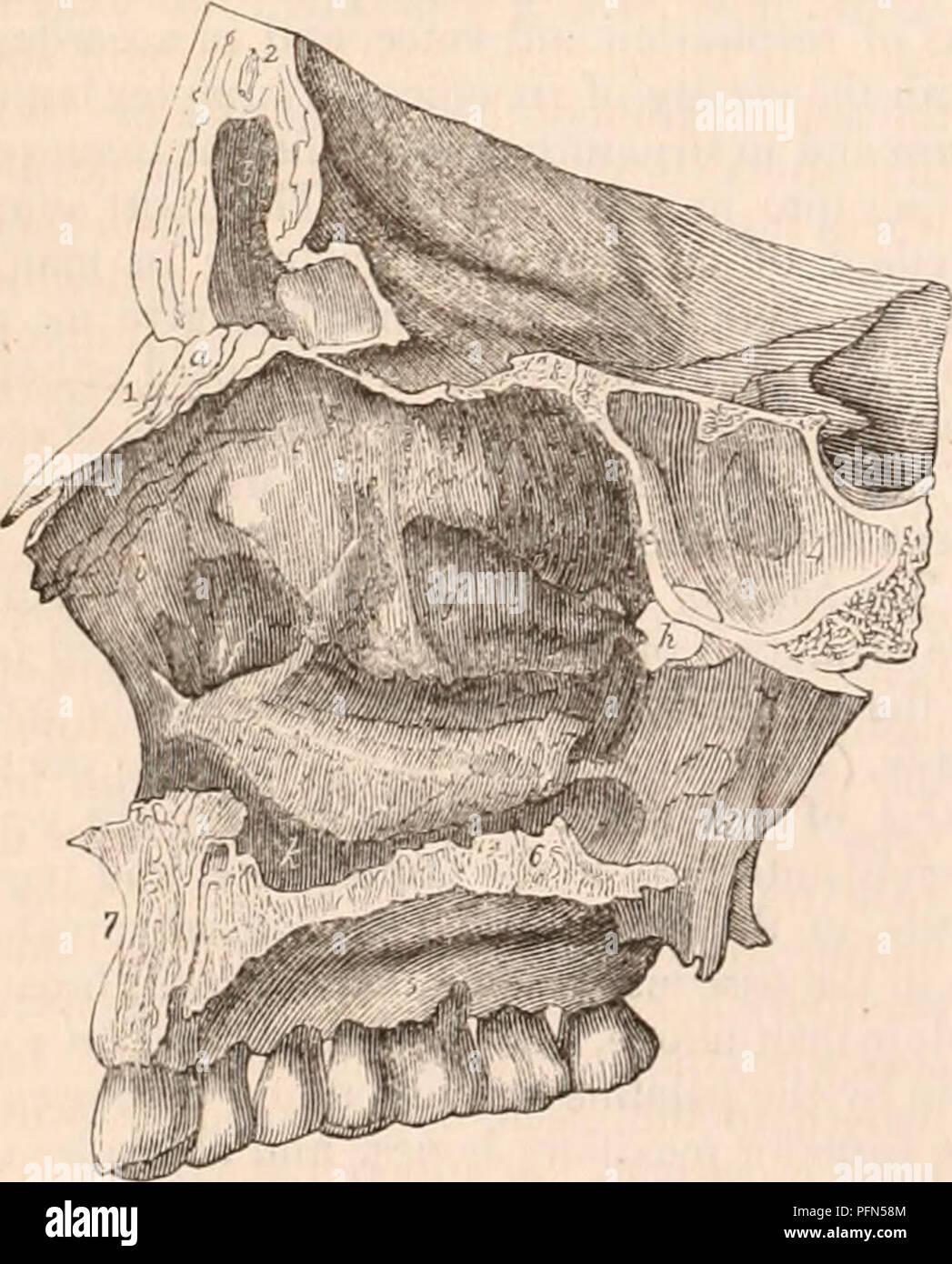 Anterior Nasal Spine Stock Photos Anterior Nasal Spine Stock