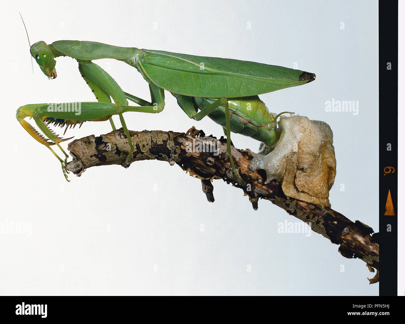 Praying Mantis Mantis Religiosa Laying Eggs Into Foamy Egg Case