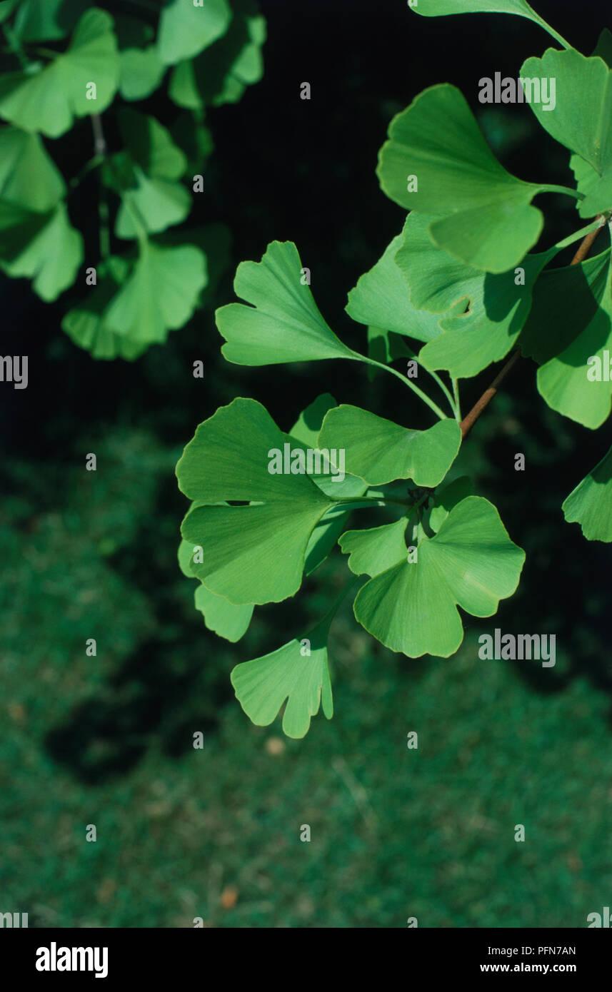 Ginkgo biloba, Maidenhair Tree leaves, close up - Stock Image
