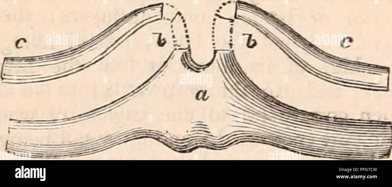 . The cyclopædia of anatomy and physiology. Anatomy; Physiology; Zoology. Tongue and Baleen-plates of the Piked Whale, Balcenoptera Boops.* The genio-glossi pass backwards and inwards from the anterior contour of the lower jaw. The tongue itself corresponds to the form of the space included by the rami of the lower jaw, and is consequently of great size in the Cachalots and Balaenidae, rising in the latter like an immense cushion (a, Jig. 259), into the space between the laminse of baleen (6), and affording a great quantity of the finest oil. In the figure it is represented in the Piked Whale, Stock Photo