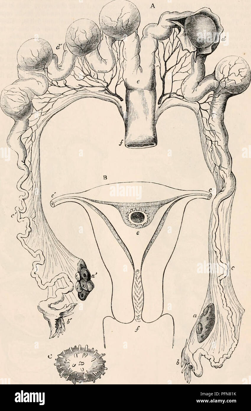. The cyclopædia of anatomy and physiology. Anatomy; Physiology; Zoology. OVUM. 53 The name of ovary is in all animals applied to the organ, however varied in its structure and relations, in which the ova are formed. As already indicated, however, it is to be observed, that in the higher animals, it is only the ovule, or yolk, with its germinal vesi- cle and enclosing membrane that is formed in the ovary, while the external or cortical parts of the ovum are added to these in their descent through the female passages after leaving the ovary. There are some examples in which it would appear that - Stock Image