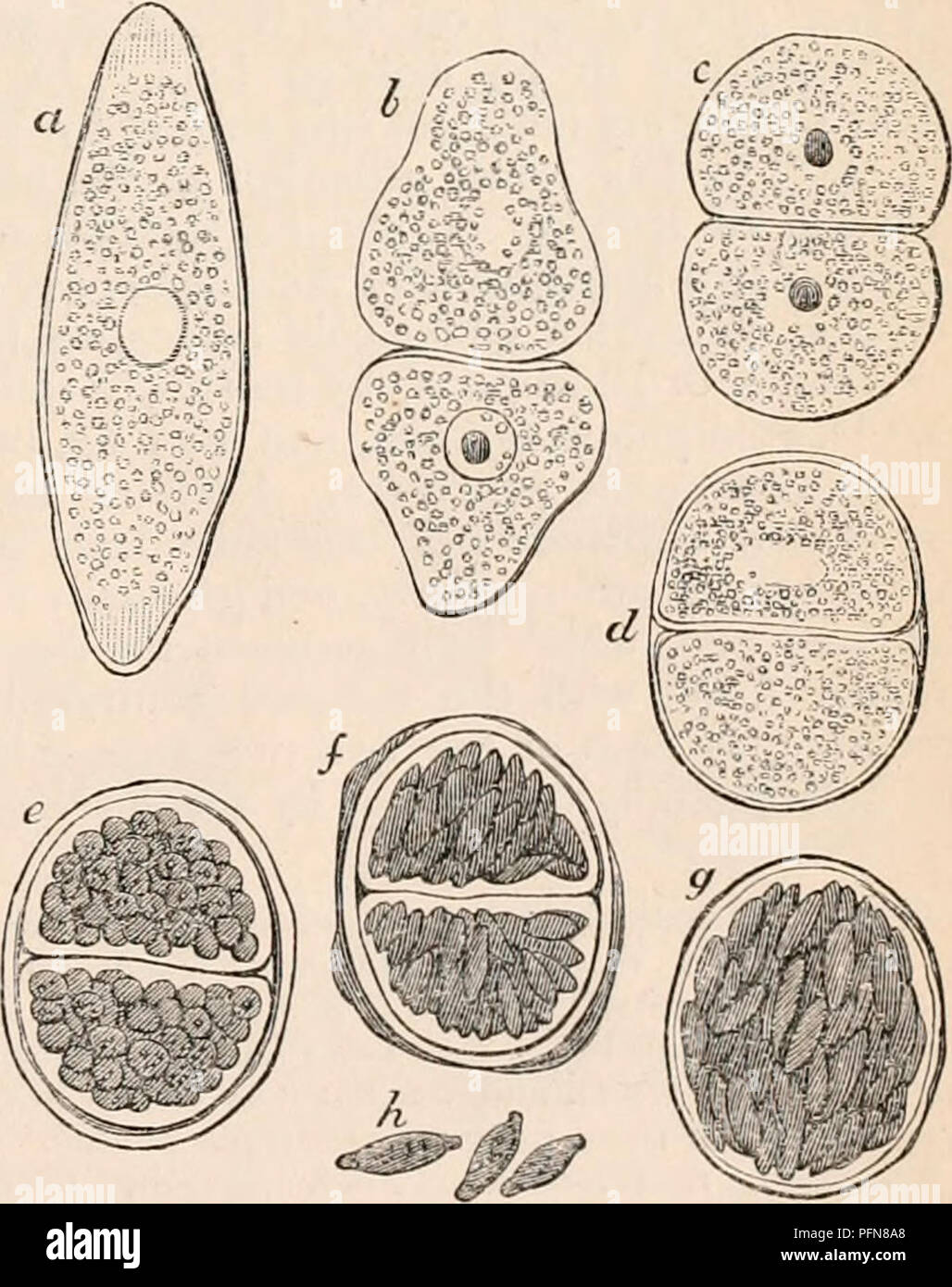 . The cyclopædia of anatomy and physiology. Anatomy; Physiology; Zoology. each presenting two contractile vesicles like the parent. The escape of these bodies, by their passage through an aperture temporarily formed in the wail of the infusorian, was carefully observed; the exit of each embryo occupied about twenty minutes. Soon after their escape they exhibited active ciliary mo- tion, and moved about with all the appearance of embryo-infusoria. Although the farther development of these bodies was not traced, the observations on this animal, and on an- other, the Urostyla grandis, afford suff - Stock Image