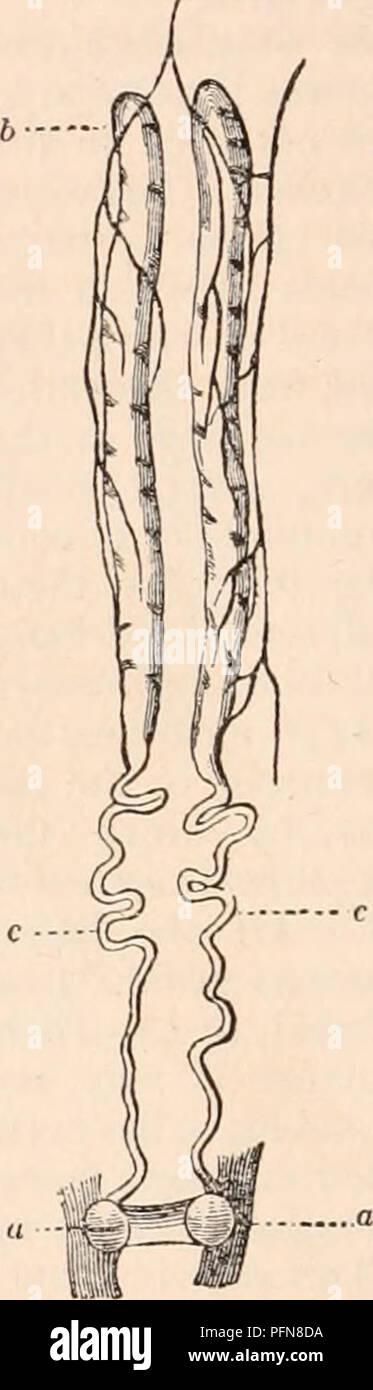 Testicles Anatomy Stock Photos & Testicles Anatomy Stock Images - Alamy