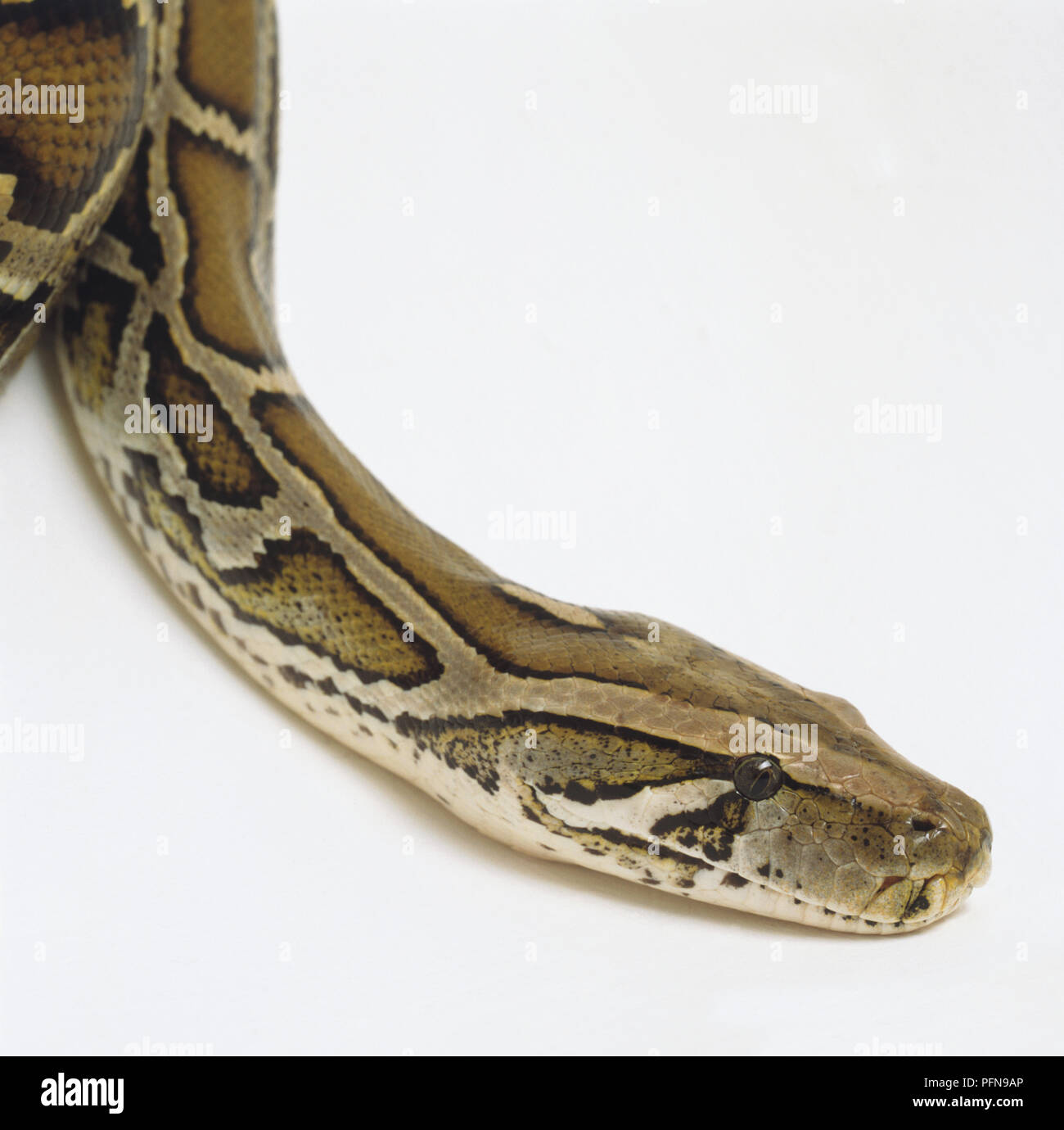 Side View Of The Head Of A Burmese Python Showing The Dark Arrowhead Markings A Wedge Shaped Mark Running From Each Eye To The Angle Of The Jaw Another Below Each Eye And
