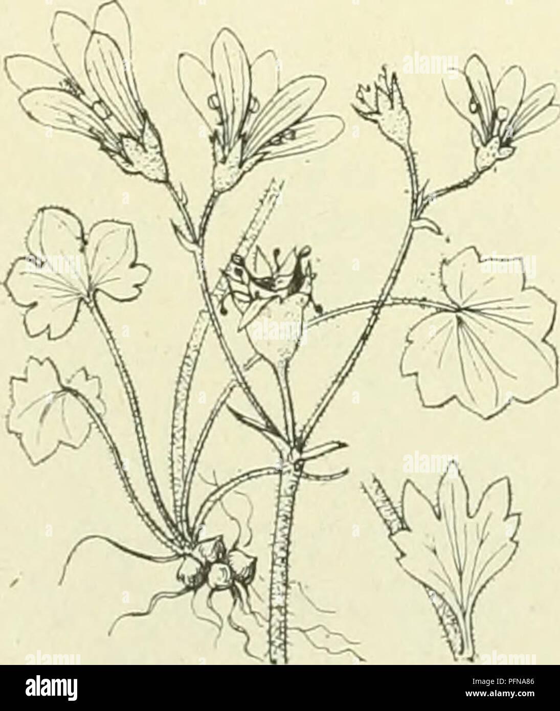 . De flora van Nederland. Plants. Engeland, IJsland) zullen de zeldzame vindplaatsen in ons land (Bergumerheide, Harder- wijk, bij Leimuiden, bij Amsterdam, Stolwijk) wel betrekking hebben op verwilderde planten. De plant wordt n.1. wel als sierplant gekweekt. S. tridactylites ')L. Kandelaartjes (fig. 584). Deze plant is geelgroen, klierachig kort behaard. De wortel is dun, er zitten geen knolletjes op. De stengel is rechtopstaand, dun, verspreid met bladen bezet, vaak roodachtig aangeloopen. De wor- telbladen vormen bijna een roset, zijn spatelvormig, onge- deeld of 3-lobbig. De stengelbladen - Stock Image