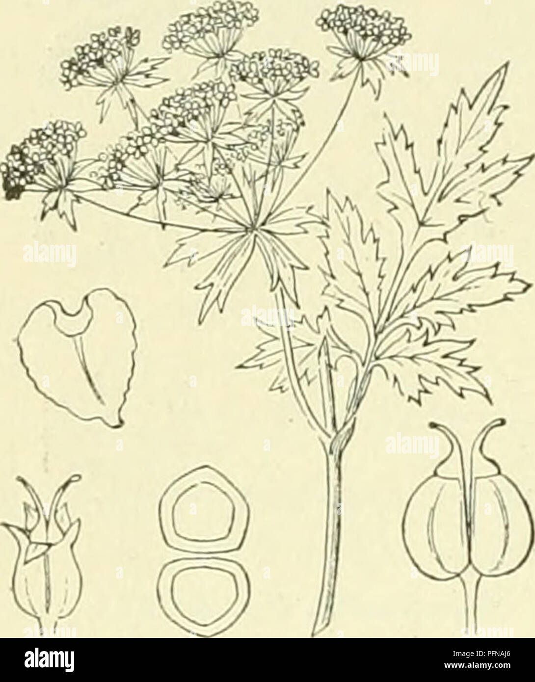. De flora van Nederland. Plants. 436 UMBELLIFERAE. — FAMILIE 66. Voorkomen. Deze plant is afkomstig uit Kiein-Azië en wordt bij ons soms verbouwd. Zij is een eni<ele maal aangevoerd gevonden b.v. bij Haarlem en Leiden. B. angustifólia -) Koch. (fig. 522). Deze donkergroene. 13. Bérnla^) Koch. (Sium angustifolium L.). Kleine watereppe. Berula ang^ustifolia Fig. 522. onbehaarde plant, heeft een kruipenden wortelstok met uitloopers en een rechtopstaanden, rolronden, hollen, gegroefden stengel. De bladen zijn ge- vind, de slippen der onderste zijn eirond, die der bovenste langwerpig (1-2 cM br Stock Photo