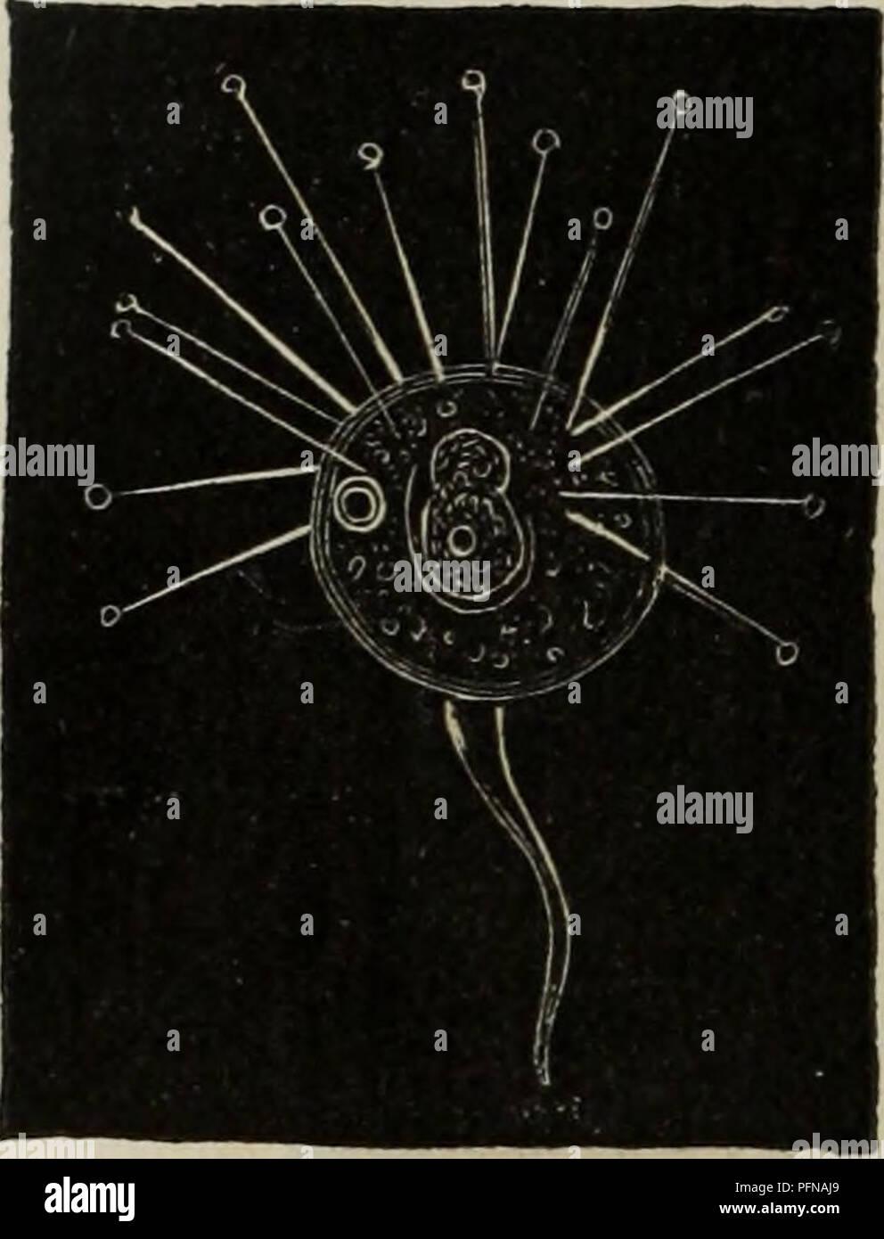 . Delle funzioni riproduttive degli animali in complemento all'edizione italiana del corso elementare di zoologia del signor Milne Edwards. Animals - Reproduction; Zoology. 14 ZOOLOGIA. corpo materno (fig. 7), ne esce quindi, e si sviluppa per proprio conto (*). Molti altri in- fusorj vorticelli formi (gli Epìsty- lis, le opercularie) pervengono ad uno stadio di acineta, raggiunto il quale generano dando origine ad un unico prodotto. Se e quanto ripetano queste generazioni, non è ancora ben noto; come non si è ancora ben in chiaro dei rap- porti che questo secondo modo di generazione tiene col - Stock Image