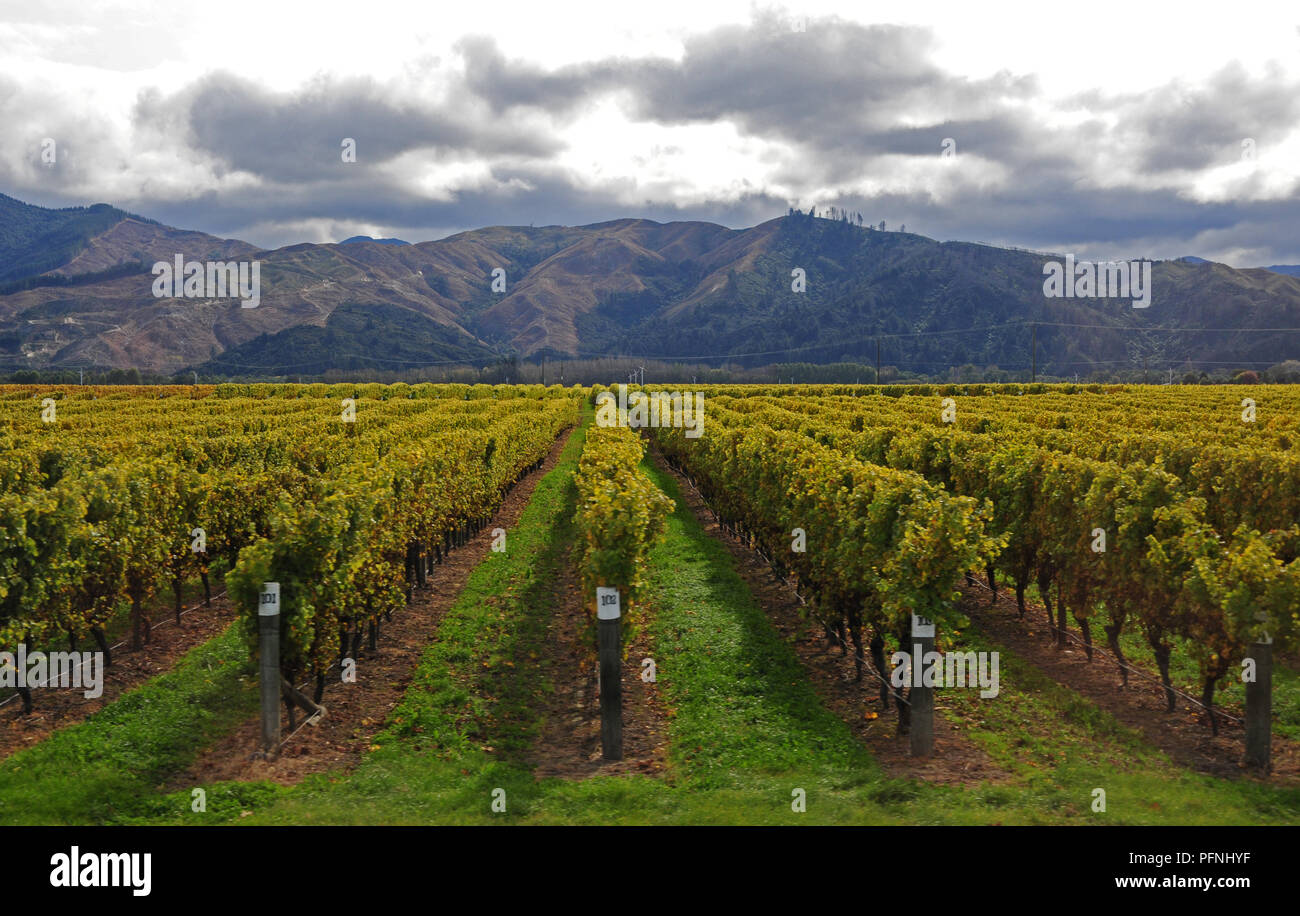 Neuseeland 27th Apr 2018 Wine Growing In The North Of The South