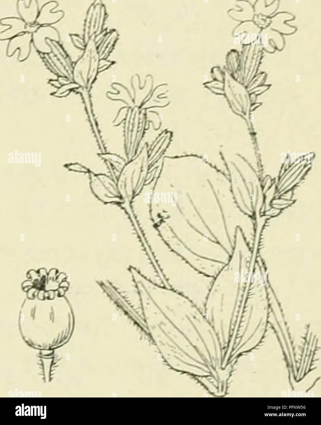 . De flora van Nederland. Plants. FAMILIE 32. CARYOPHYLLACEAE. — 171 Zoowel op deze soort als op M. rubniiii veroorzaakt een zwam , Ustilago antheranun Fr. merkwaardij);e vervormingen in de bloem. In de manne- lijke bloemen is de vervorminjf der lieimknopjes slechts j^ering, doch zij zijn in plaats van met stuifmeel met paarse sporen gevuld, doch in de vrouwelijke bloemen ontwikkelt zich de stamper minder goed (de stijlen en het bovenste deel van het vruchtbeginsel zijn slecht ontwikkeld), doch de meeldraden ontwikkelen zich sterker dan gewoonlijk, maar de helm- knopjes zijn weer met sporen ge Stock Photo