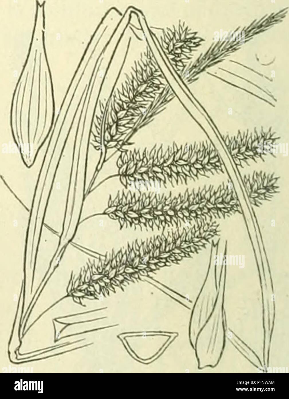 . De flora van Nederland. Plants. Carex fulva Fig. 332. A B C D. Deelen der plant, / manne- lijke bloem met kafje, 2 vrouwelijke bloem met kafje, 3 urntje met kafje, 4 urntje, 5 kafje. Voorkomen in Europa en in Nederland. De plant komt in geheel Europa in vochtige weiden voor. Het is niet zeker of zij bij ons voorkomt (Veenen- daal (?), Rotterdam (?)). Een bastaard van C. fulva met C. Oederi is in den vorm sub-Oéderi Aschers. et Gr. met lange wortelbladen en korten stengel bij Ootmarsum gevonden. C. Pseudo-Cy'perus-) L Cyperzegge (fig. 333). Deze plant is levendig-, ten slotte geelgroen, zoden - Stock Image