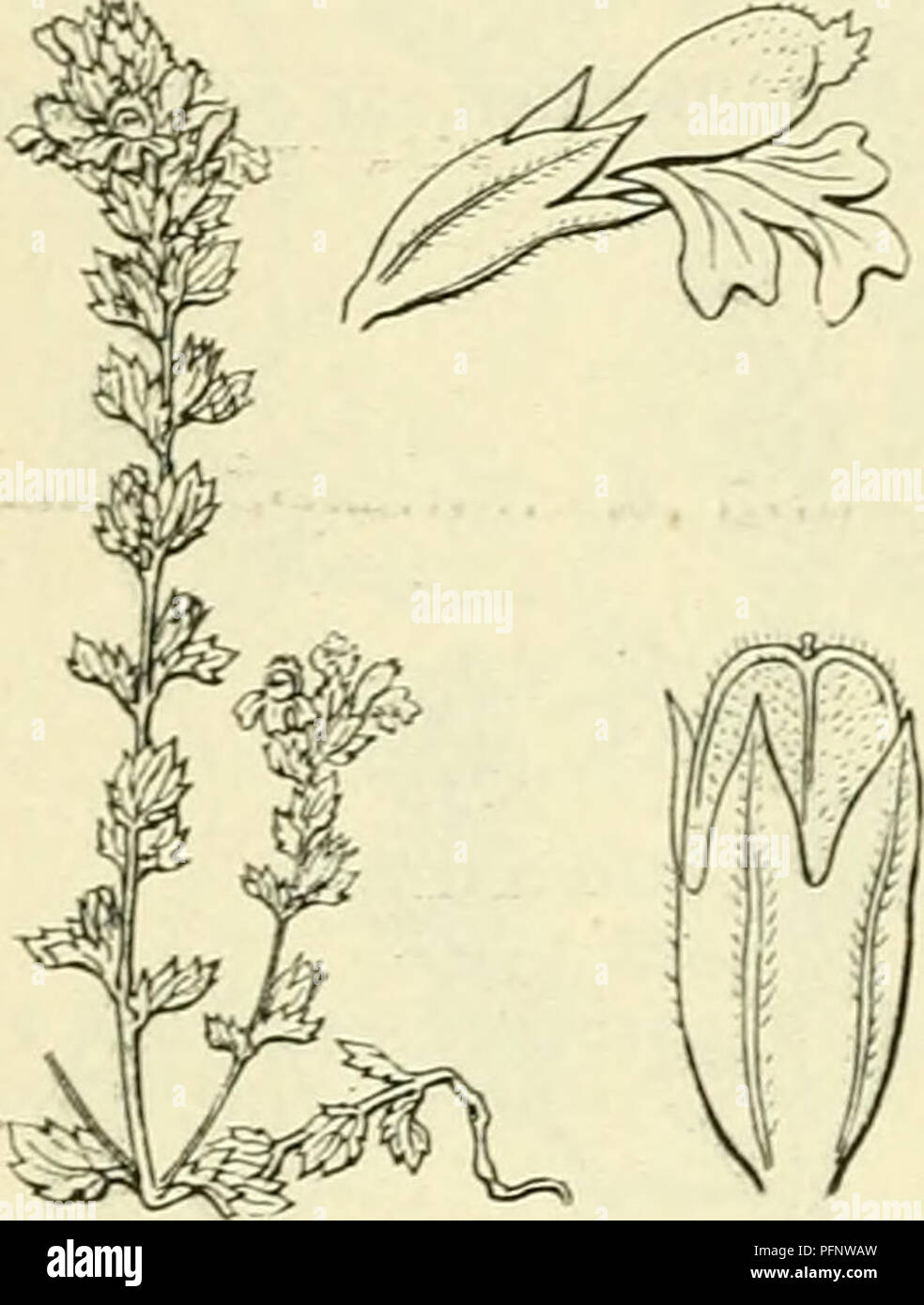 . De flora van Nederland. Plants. 186 â SCROPHüLARIACEAE. HAMILIE 94. onderlip en een bovenlip met iets getande lobben. De doosvrucht (fig. 224) is 5 mM lang, gewimperd, niet langer dan de kelk. De tros verlengt zich na den bloeitijd sterk. 1-3 dM. B. curta^) Wettst. Bij deze is de stengel rechtopstaand, krachtig, ver- takt, fijn behaard met opstijgende takken. De bladen zijn blauwgroen, de bovenste in gedroogden toestand vaak zwartachtig-smaragdgroen, spits, aan weerszijden 4-5-tandig, aan weerskanten of althans aan den rand en op de nerven van onderen kortborstelig. De tanden der bladen zij - Stock Image