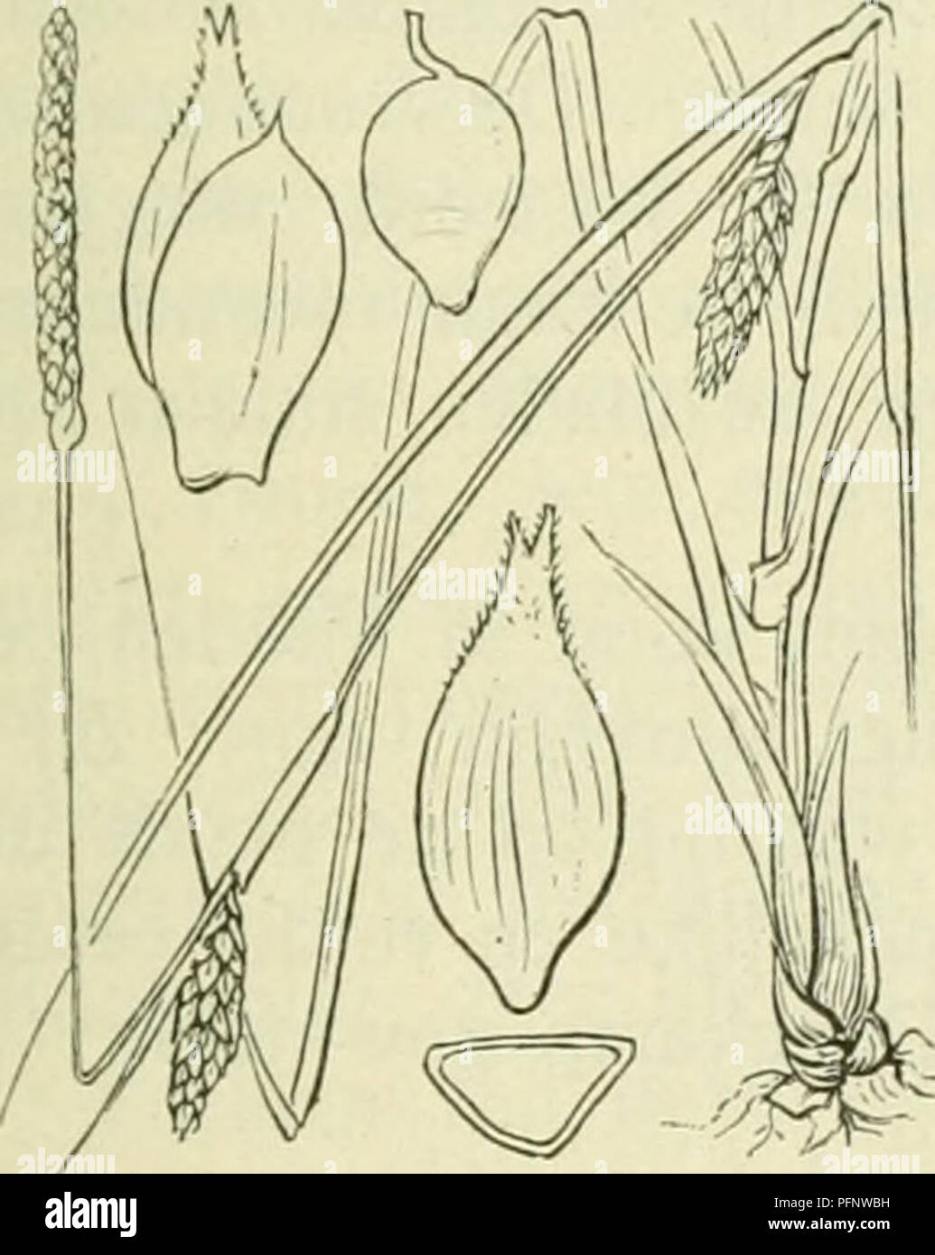 De Flora Van Nederland Plants Carex Str Sa Fig 326 Zaani Even