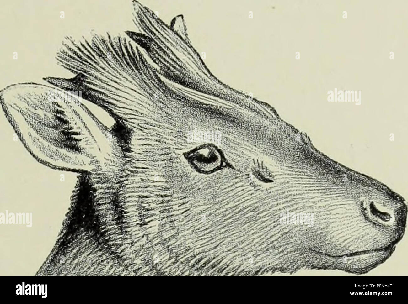 . The deer of all lands; a history of the family Cervidæ living and extinct. Deer; Deer, Fossil; Cervidae; Cervidae, Fossil. Hairy-Fronted Muntjac 211 chestnut ; a V-shaped faint dark mark near the pedicles ; limbs and under- pays dark blackish brown, except the abdomen, which is whitish ; inner side of hind-legs rufous chestnut ; inner surface of thighs, and sides and lower surface of tail pure white ; upper surface of tail and a line extending on to the rump black. Length of tail about 9 inches. Frontal glands probably absent. The above description is taken from a male specimen forming the t - Stock Image