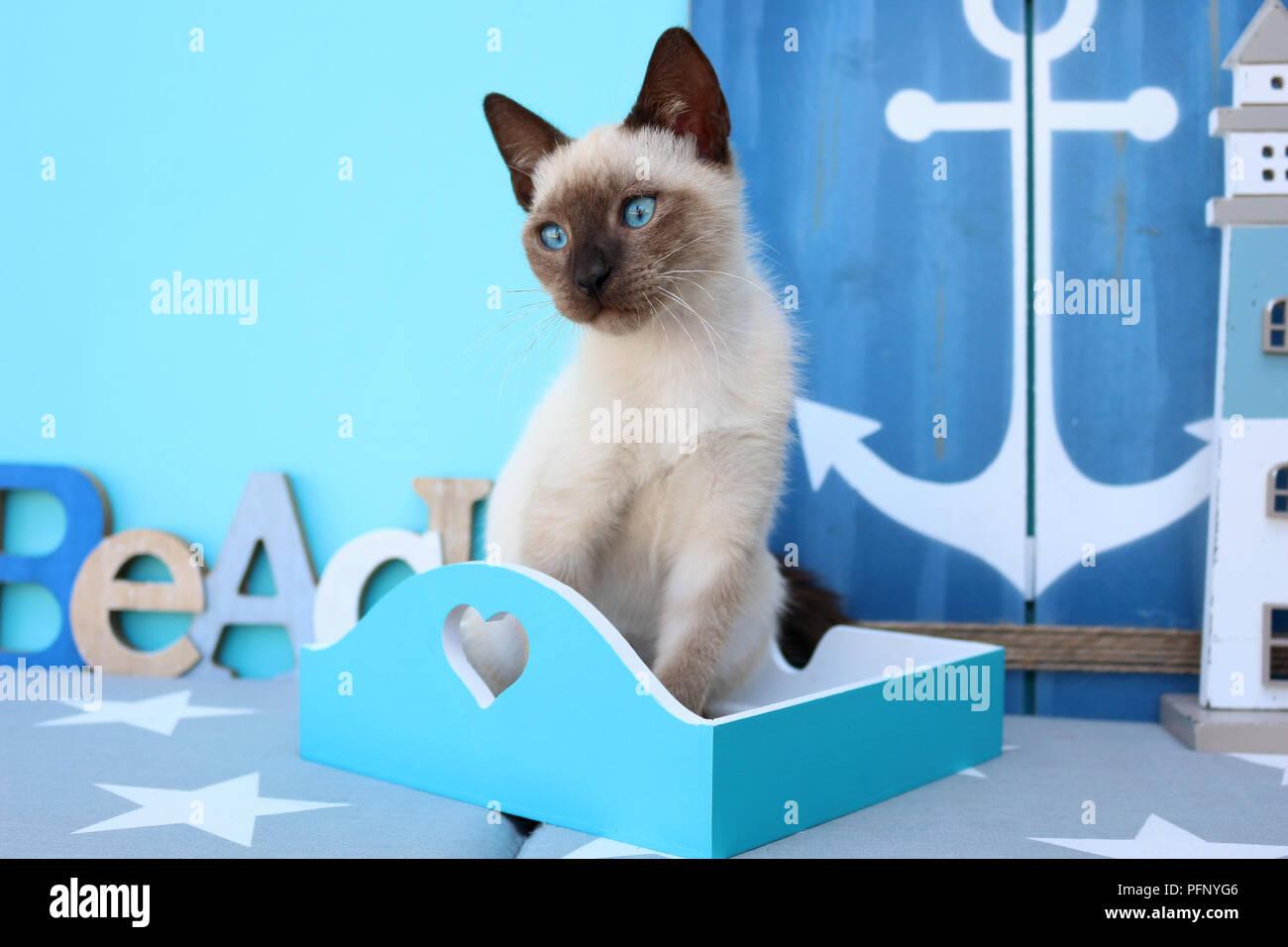 Siamese Kitten Thai 10 Weeks Old Stock Photo 216226870